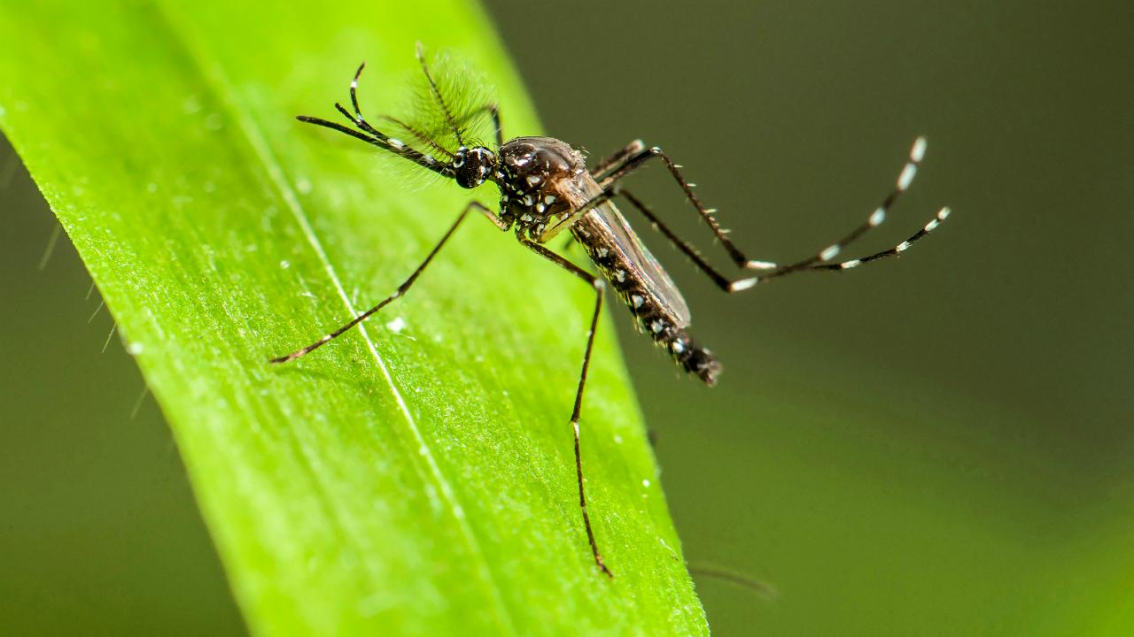 sn-mosquito_0-1